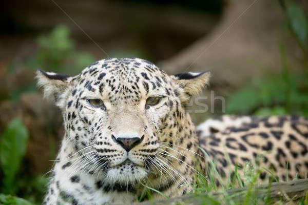 Leopard голову портрет кавказский природы снега Сток-фото © artush