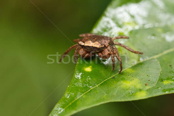 Forest Crab or forest tree climbing Crab Madagascar Stock photo © artush