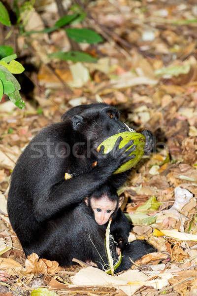 Celebes crested macaque Stock photo © artush