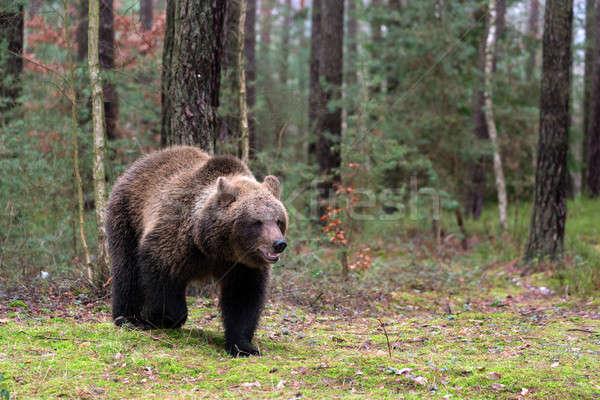 ストックフォト: ヒグマ · 冬 · 森林 · ビッグ · 女性 · ヨーロッパ