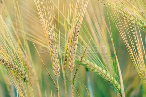 Organikus zöld tavasz magvak sekély fókusz Stock fotó © artush