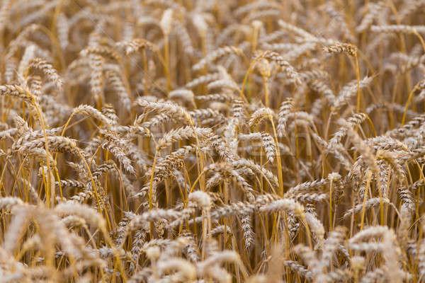 Organic golden spring wheat grains  Stock photo © artush