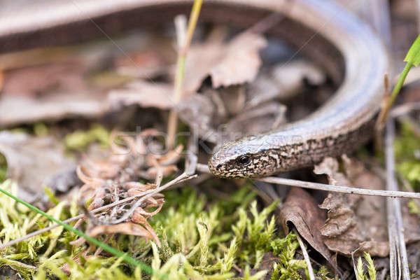Slow Worm or Blind Worm, Anguis fragilis Stock photo © artush