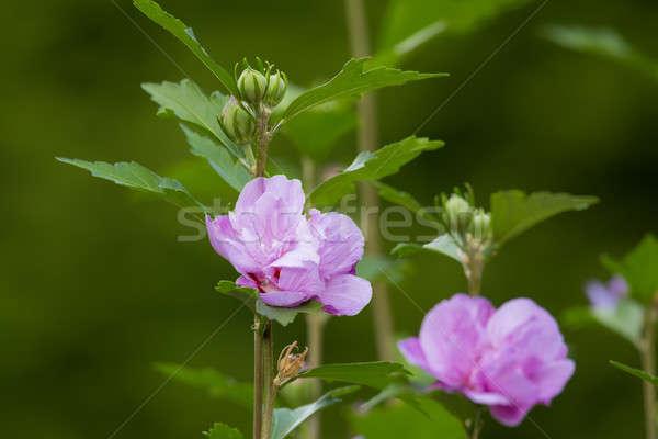 Gyönyörű virág ibolya hibiszkusz kert virágzó Stock fotó © artush