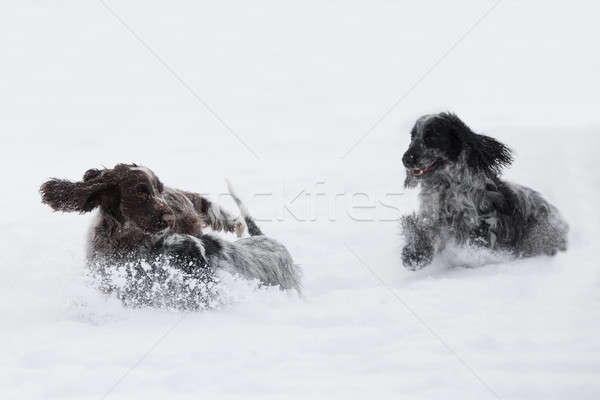 two english cocker spaniel dog playing in snow winter Stock photo © artush