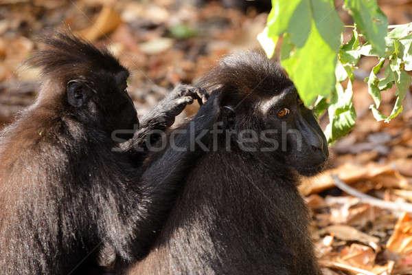 sulawesi monkey Celebes crested macaque Stock photo © artush