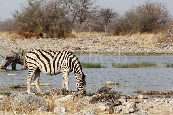 Zebra in african bush on waterhole Stock photo © artush