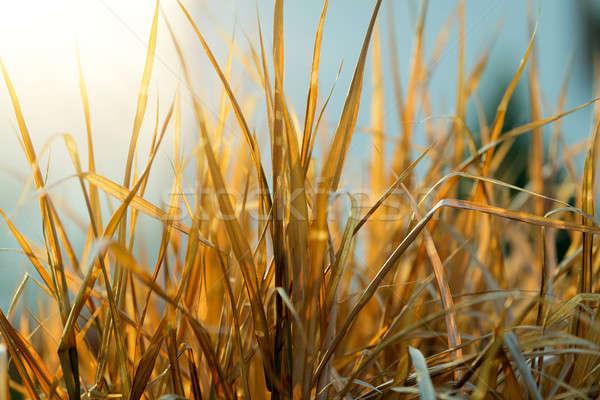 very nice autumn reed Stock photo © artush