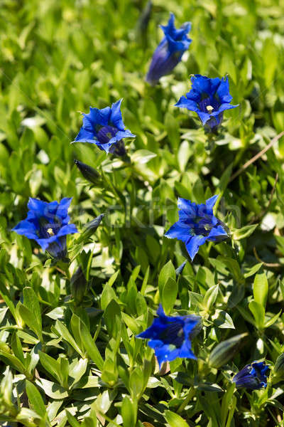 Trumpet gentiana blue spring flower in garden Stock photo © artush