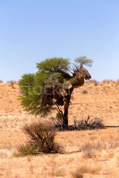 African masked weaver nest on kgalagadi Stock photo © artush