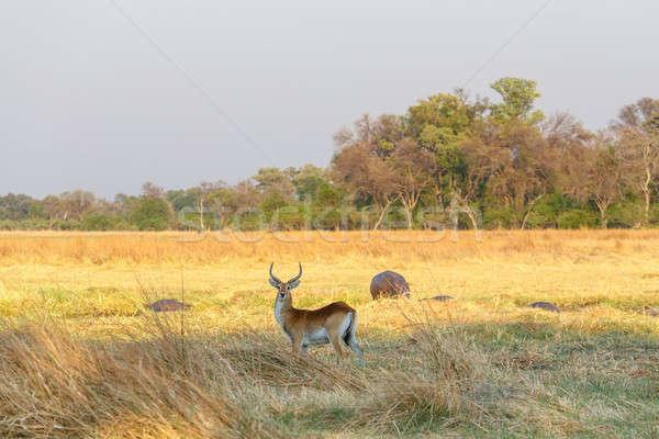 Zuidelijk afrika safari wildlife spel park Stockfoto © artush