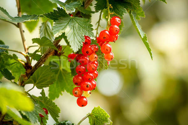 red currants with shallow focus Stock photo © artush