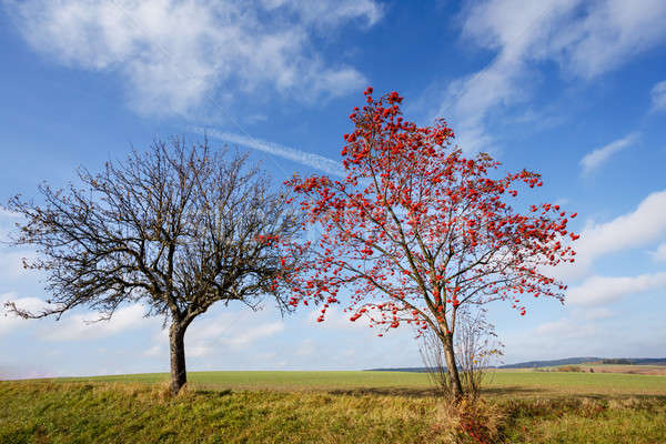 tree of Rowan Berries (Sorbus aucuparia) Stock photo © artush
