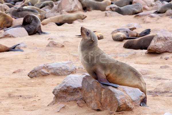 portrait of Brown fur seal - sea lions in Namibia Stock photo © artush