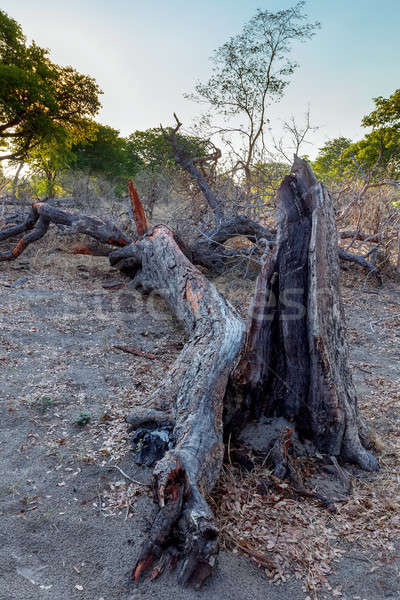 Toter Baum african Landschaft Park Himmel Wolken Stock foto © artush