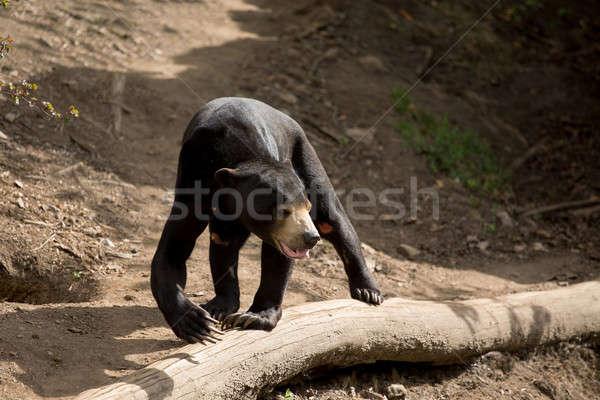 Sun bear also known as a Malaysian bear Stock photo © artush