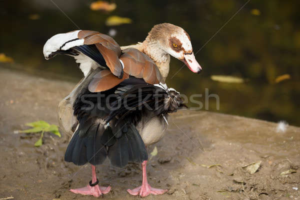 Egyptian Goose Stock photo © artush