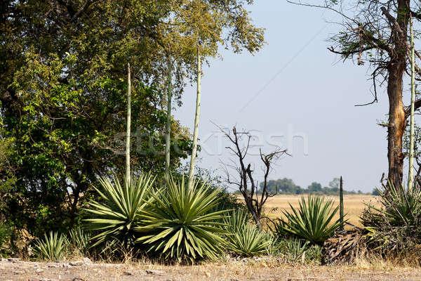 wild african landscape, Chobe national park Stock photo © artush