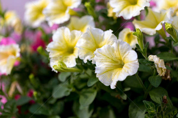 Witte ader gele bloem zomer tuin bloem Stockfoto © artush