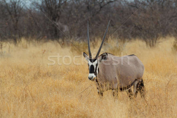 Gemsbok in savanna, Oryx gazella Stock photo © artush