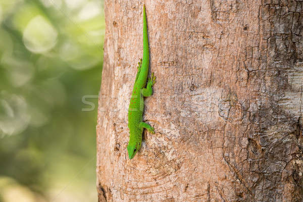 日 ヤモリ マダガスカル 自然 生息地 ツリー ストックフォト © artush