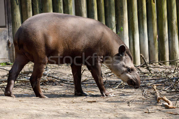 endangered South American tapir Stock photo © artush