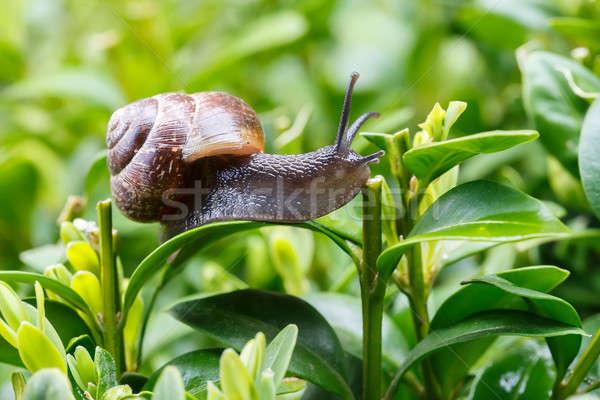 小 庭園 カタツムリ マクロ 緑の葉 速度 ストックフォト © artush