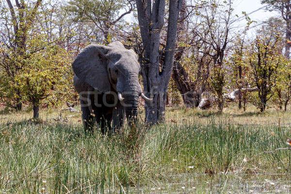 African Elephant Moremi Game reserve, Okawango Delta Stock photo © artush