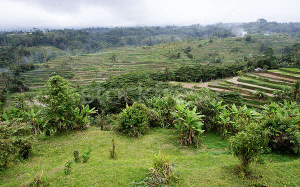 Rice terraced paddy fields in central Bali, Indonesia Stock photo © artush