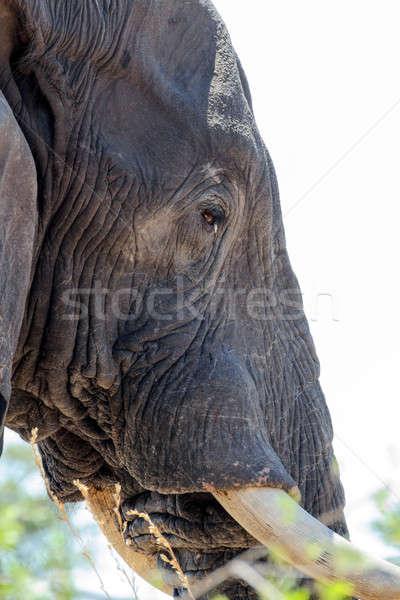 african elephants close up Stock photo © artush