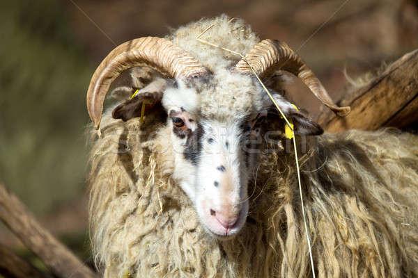 Baran mężczyzna owiec wiejski gospodarstwa Wielkanoc Zdjęcia stock © artush