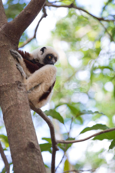 Photo stock: Madagascar · portrait · sauvage · parc · faune