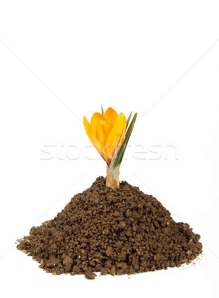 small plant crocus growing pile of the dirt Stock photo © artush