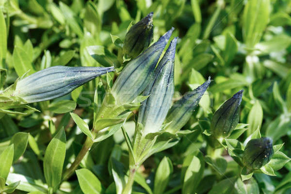 bud of blue Gentiana in garden Stock photo © artush