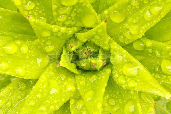 Vízcseppek zöld növény levél makró természetes Stock fotó © artush