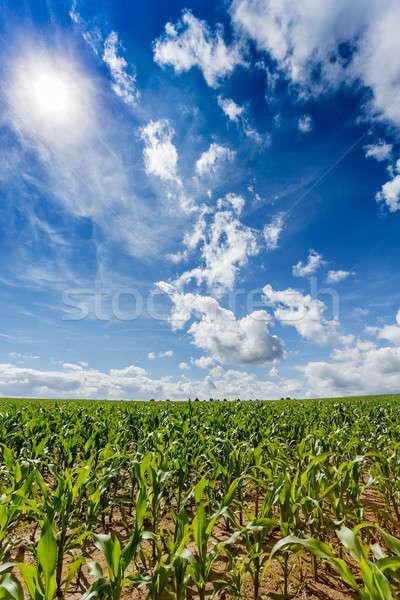 green field of corn growing up Stock photo © artush
