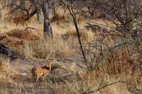 Steenbok, Etosha National Park, Namibia Stock photo © artush