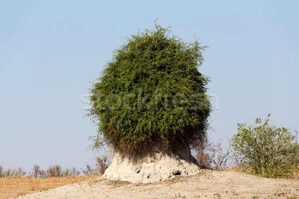 termite mound overgrown with green bush Stock photo © artush