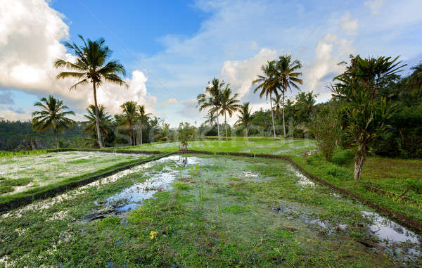 Stock photo: Rice terraced paddy fields
