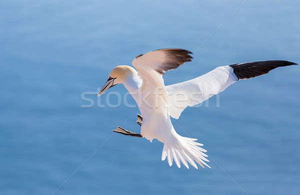 Repülés északi Németország gyönyörű tenger madár Stock fotó © artush