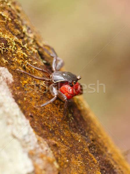 Forest Crab or Tree climbing Crab Madagascar Stock photo © artush