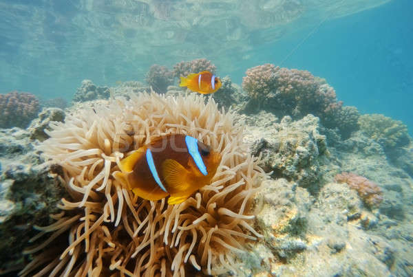 clown fish near sea anemone, Red sea, marsa Alam, Egypt Stock photo © artush