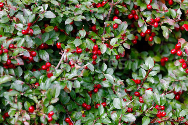 Stock photo: autumn berries red gaultheria