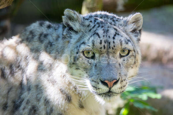 Hó leopárd nagy fehér macska textúra Stock fotó © artush