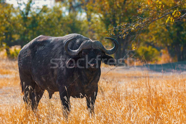 Cape Buffalo at Moremi, Africa safari wildlife Stock photo © artush