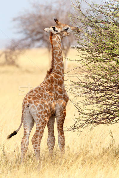 Young cute giraffe in Etosha national Park Stock photo © artush