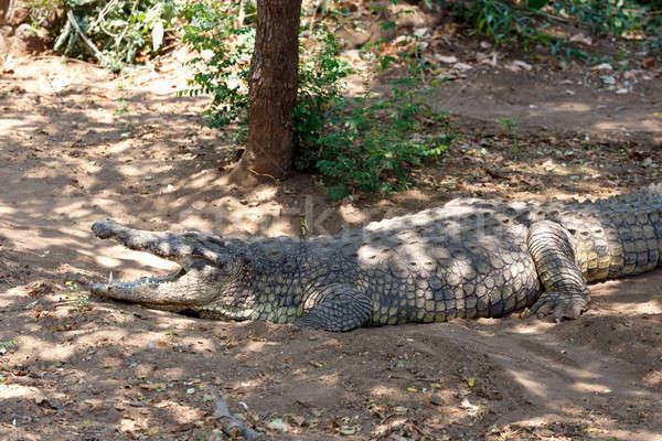 Portre krokodil su doğa Afrika kafa Stok fotoğraf © artush