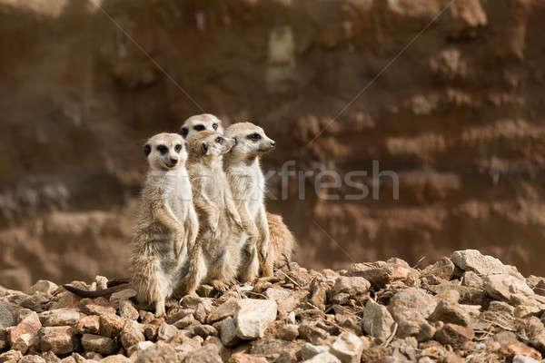 family of meerkat or suricate Stock photo © artush
