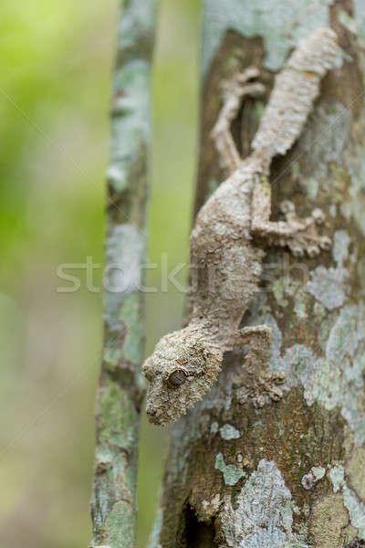 Perfectly masked mossy leaf-tailed gecko Stock photo © artush