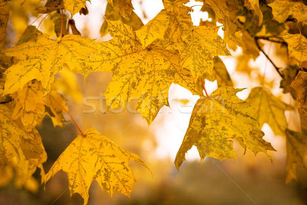 Autumn maple leaves with shallow focus background Stock photo © artush